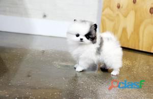 Cuccioli di Pomerania Teacup per l'adozione solo in buone case