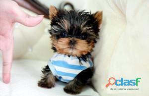 Cuccioli di Yorkie Teacup sani da adottare