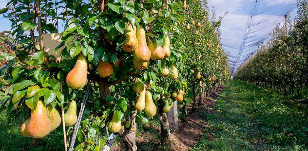 Ferrara 640.000mq azienda frutteto pere/mele + capannoni €
