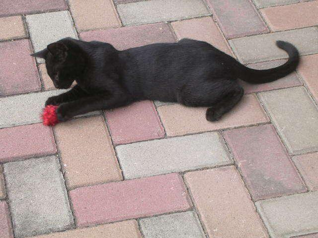 Gattino nero maschio in adozione