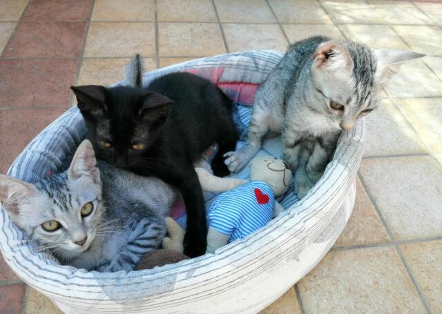 Regalo 3 splendidi gattini a veri amanti degli animali !