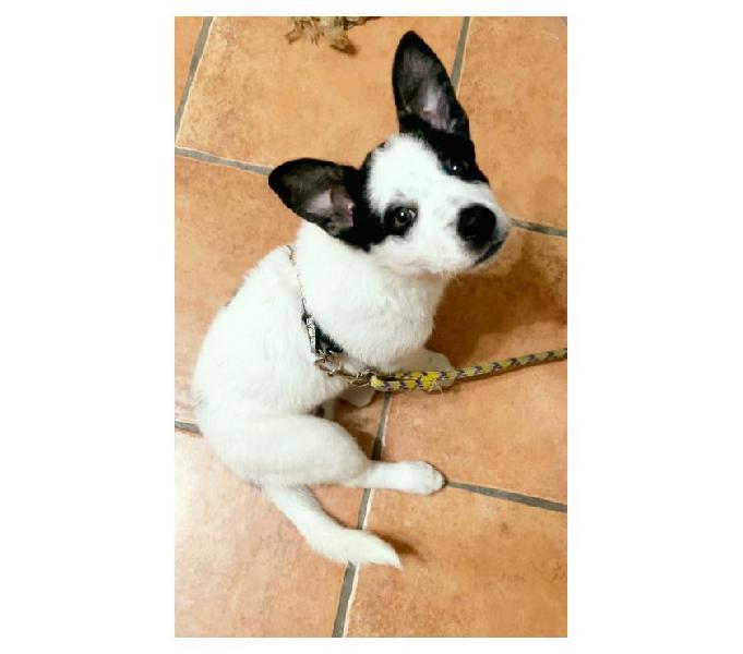 Joye tre mesi piccola taglia milano - adozione cani e gatti