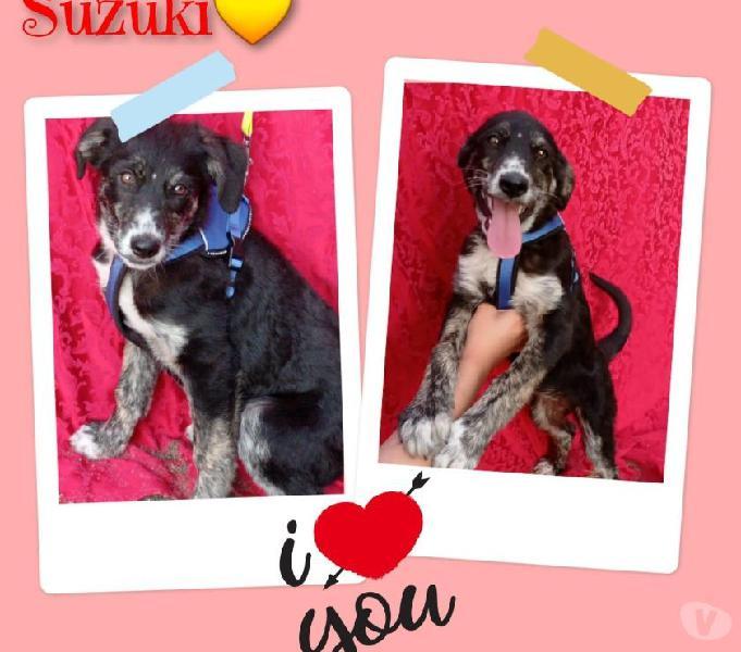 Suzuki cucciolona da adottare Bologna - Adozione cani e gatti