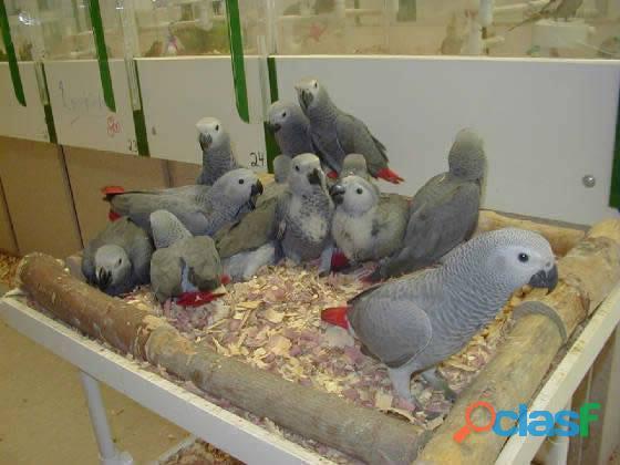 Affascinanti pappagalli grigi africani 2
