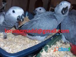 Fantastici pappagalli grigi del Congo