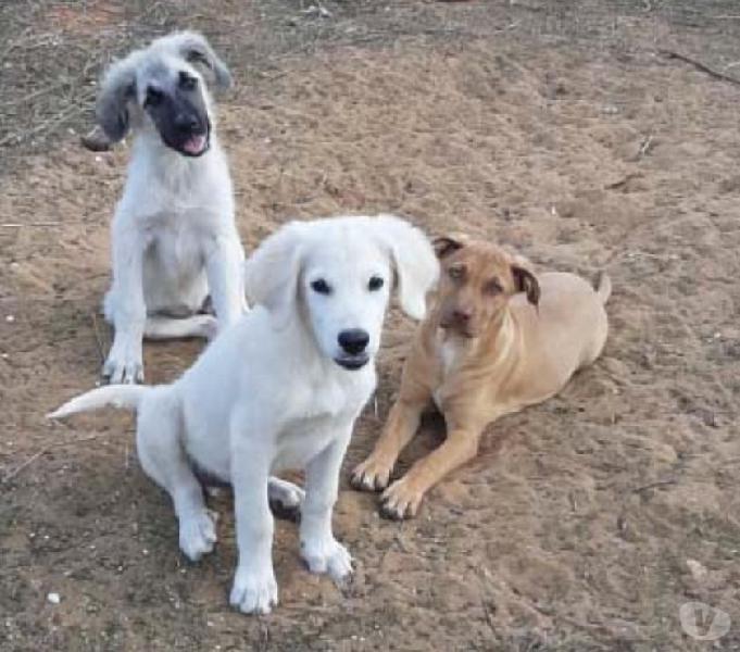 ASHA, PACO, KERA, CUCCIOLI 3 MESI Levate - Adozione cani e gatti