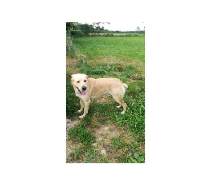 Labrador 3anni rimasto solo chiuso in box in prov di PAVIA Garlasco - Adozione cani e gatti