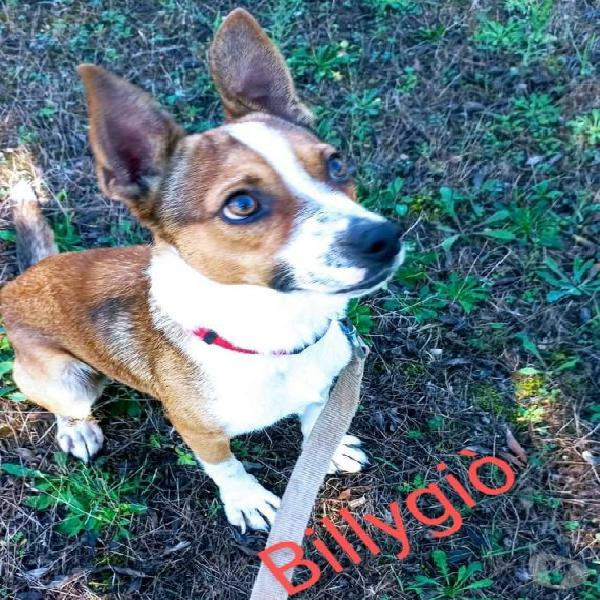 Billygiò, cagnolino taglia piccola cerca casa parma - adozione cani e gatti